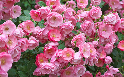 How Should I Prune my Roses?